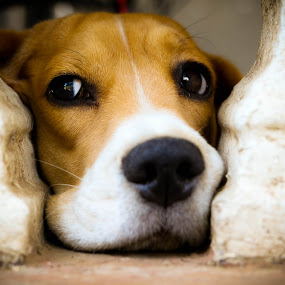 Look Left by Israel  Padolina - Animals - Dogs Portraits ( look, animals, pet, beagle, dog, portrait, animal )