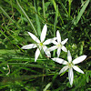 grass lily
