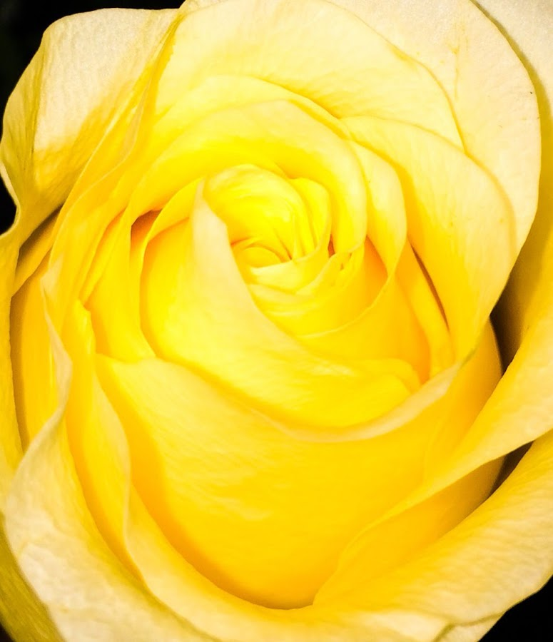Yellow rose by Mike Tapley - Flowers Single Flower ( rose flower yellow close-up macro )