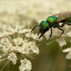 Green Sweat Bee (Female)