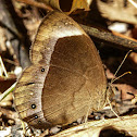 White-bar bushbrown