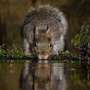 squirrel drinking.jpg