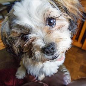 Whatcha Doin? by Steve Kazemir - Animals - Dogs Portraits ( bichon frise, pet, puppy, shih tzu, dog, closeup, portrait )