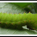 Moon moth caterpillar