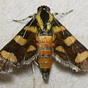 Orange-spotted Flower Moth
