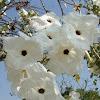 Flor de Casahuate