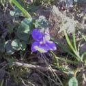 Viola o Violeta