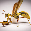 Wasp Mantisfly