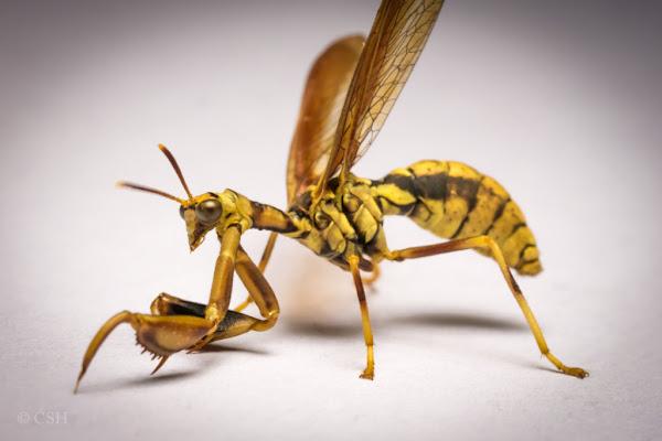 Hornet Vs Praying Mantis Wasp Mantisfly | Proje...