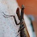 European mantis / Europäische Gottesanbeterin
