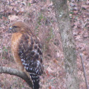 Red winged hawk
