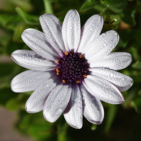 Pillows Of Dew by Ed Hanson - Flowers Single Flower ( nature, dew, daisy, close-up, flower )