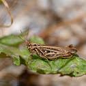 Maroccan locust