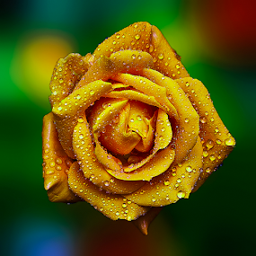 Yellow Rose by TEDDY ZUSMA - Flowers Single Flower