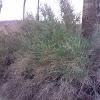 Arrowweed