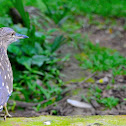 Striated heron  (Juvenile)