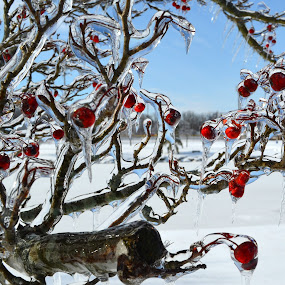 Frozen Beauty by Larry Bidwell - Nature Up Close Trees & Bushes (  )