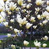 Yellow magnolia