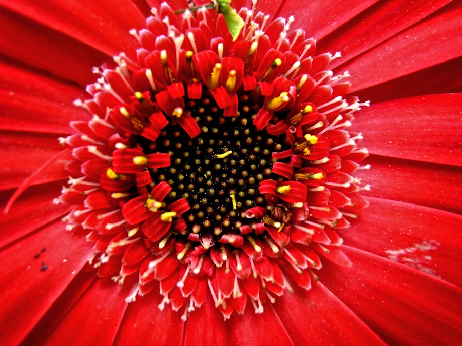 Red by Hayley - Flowers Single Flower ( red, dark, seeds, close up, flower )