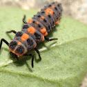 Asian Ladybug Larvae