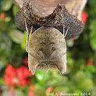 Tree Stump Orb Weaver Spider