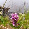 Kodiak Keyflower Orchid