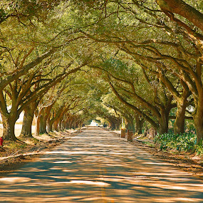 Live Oak Tree lane by Ron Olivier - Nature Up Close Trees & Bushes ( nature, louisiana, live oak tree lane, path, landscape,  )