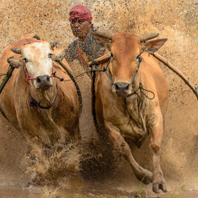 Go Go Go by Teddy Winanda - Sports & Fitness Other Sports ( west sumatera tourism, minangkabau, indonesia tourism, sport, racing cows, pacu jawi )