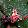 Tropical Tent-Web Spider