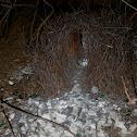 Great Bower bird nest