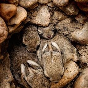 Nest of Bunnies #3 by Johnny Gomez - Animals Other Mammals (  )