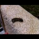 Caterpillar question mark