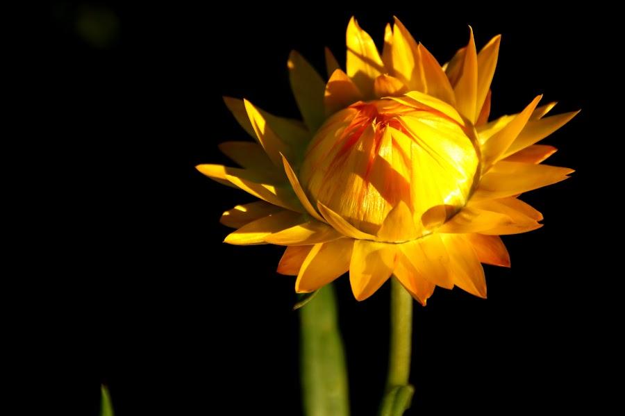 Yellow... by Soubir Paul - Flowers Single Flower ( yellow, bud, soubir, flower, blossom,  )