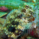 Smooth-lipped Blenny