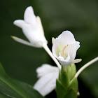 薑花(Ginger Lily)