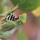 Mantis with Prey (bee)