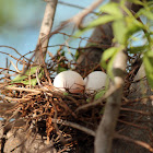 Laughing Dove eggs
