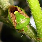 Brown-winged Stink Bug