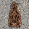 Lacuna Moth