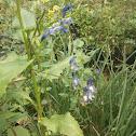 Blue Oregon Iris