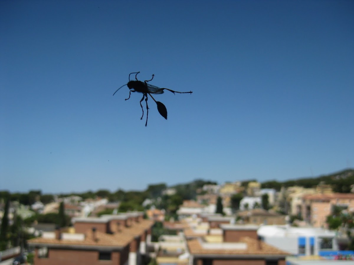 digger wasp; avispa alfarera