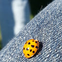 18 Spotted lady bug