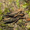 Pygmy grasshoppers (mating)