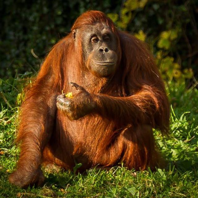 orang-utan  by Chris Henry - Animals Other Mammals