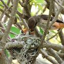 Vermilion flycatcher feeding