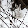 Snowshoe hare (Lièvre d'Amérique)