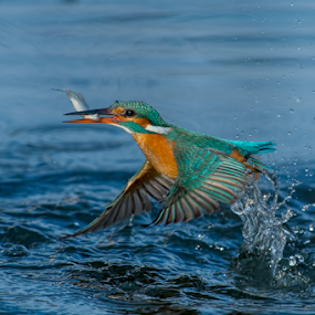 fishing time by Riccardo Trevisani - Animals Birds ( trevisani, wild, riccardo, ricky, kingfisher, wildlife,  )
