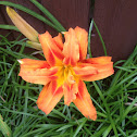 Heirloom Double Orange Daylily