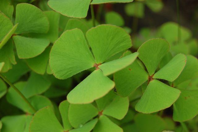 Trevo-de-quatro-folhas