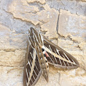 White-lined Sphinx